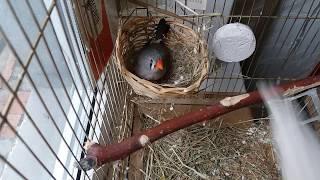 Строительство гнезда Зебровыми Амадинами