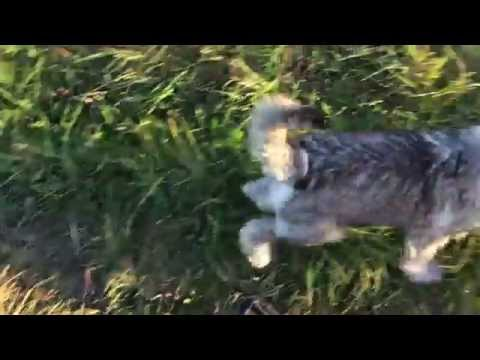 3,5 month old schnauzer  puppy Bruno free time for play