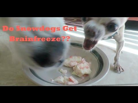 Siberian Husky BRAINFREEZE, Free Icee