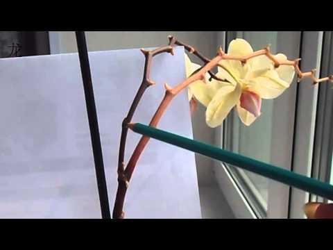 Уход за орхидей, Phalaenopsis отцвел,обрезаем цветонос
