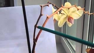 Уход за орхидей, Phalaenopsis отцвел,обрезаем цветонос(Как обрезать отцвевший цветонос у орхидеи. Делюсь своим опытом. Все мои видео о цветах : https://www.youtube.com/playlist?list..., 2014-07-25T07:01:04.000Z)