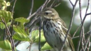 ビンズイの鳴き声 Singing Bird Olive Tree-Pipit