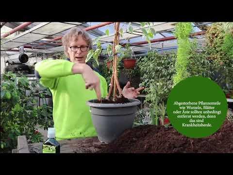 Hilfe mein Ficus benjamini kränkelt und verliert die Blätter