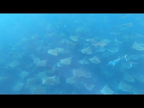 Manta Ray Migration Is Mesmerising