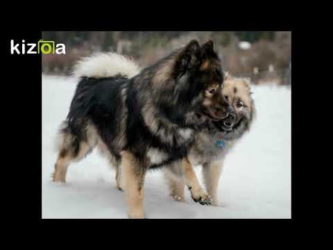 Kizoa Movie - Video - Slideshow Maker: Eurasier Date in Montana