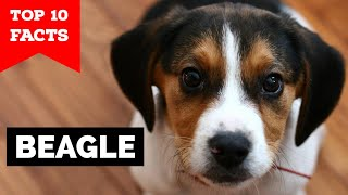 Beagle  Top 10 Facts