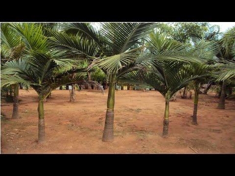 Clique e veja o vídeo Curso Cultivo de Palmeira Real para Produção de Palmito