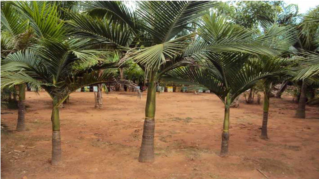Curso cultivo de palmeira real para produ o de palmito - Cortar hierba alta ...