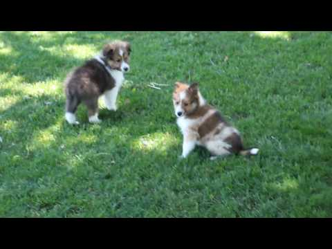 Shetland Sheepdog puppies for Sale!!!