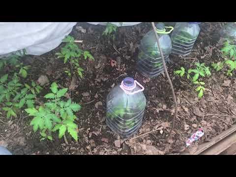 Ранняя посадка рассады томатов в не отапливаемую теплицу | отапливаемую | холодной | томатов | теплицу | теплице | рассады | рассада | посадка | ранняя | не