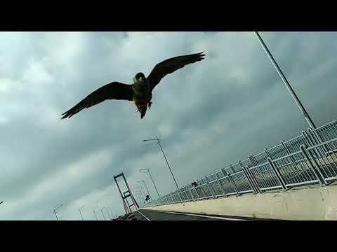 "Patagonian conure ""Roku""  free fly at Suramadu Bridge"