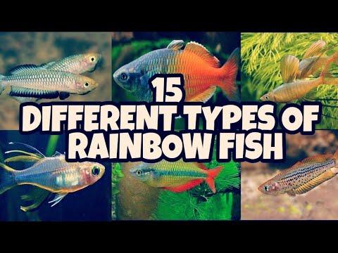 Beautiful Varieties Of Rainbow Fish | Beautiful Different Types Rainbow Fish | Prathmesh Aquatics