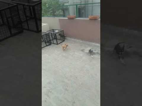 Chihuahua price in delhi 9999039993 noida ghaziabad gurgaon faridabad india rate online dog market