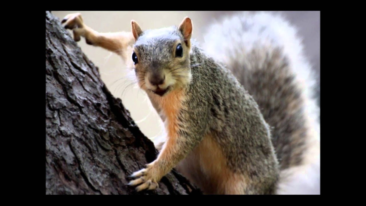 the crazy happy birthday squirrel this guy is nutz lol youtube