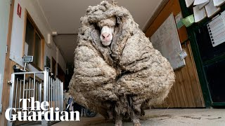 Baarack the sheep shorn of 35kg fleece after being found roaming in rural Australia