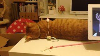 よりによってテーブルの上でふて寝するとは…。 オモチャが絡みながら寝...