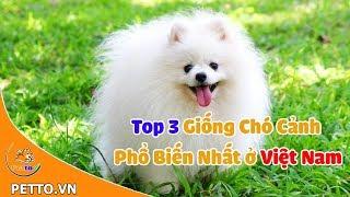 Top 3 Giống Chó Cảnh Phổ Biến Nhất Ở Việt Nąm - PEṪṪO TV