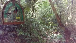 Tes pikat murai batu  baru  pulau perhentian  arwana perhentian pulau besar dapat dari hutan baru du