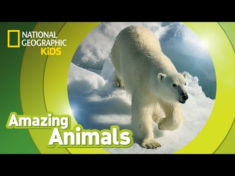 Polar Bear | AMAZING ANIMALS