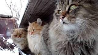 Порода кошек. Сибирская кошка.Хорошие физические возможно. Устойчива к холоду