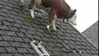 Drama as cow gets stuck on roof in Switzerland ... Udderly ridiculous or bizarre ?