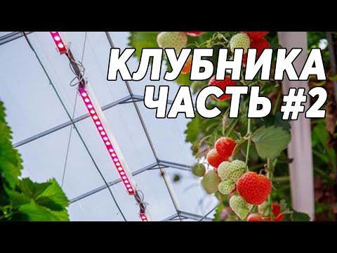 КЛУБНИКА #2 🍓 Выращивание клубники в теплице под фитолампами круглый год
