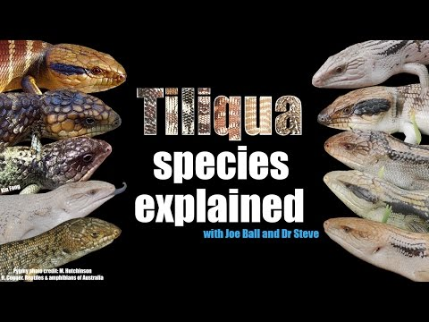 Tiliqua species explained with Joe Ball and Dr Steve