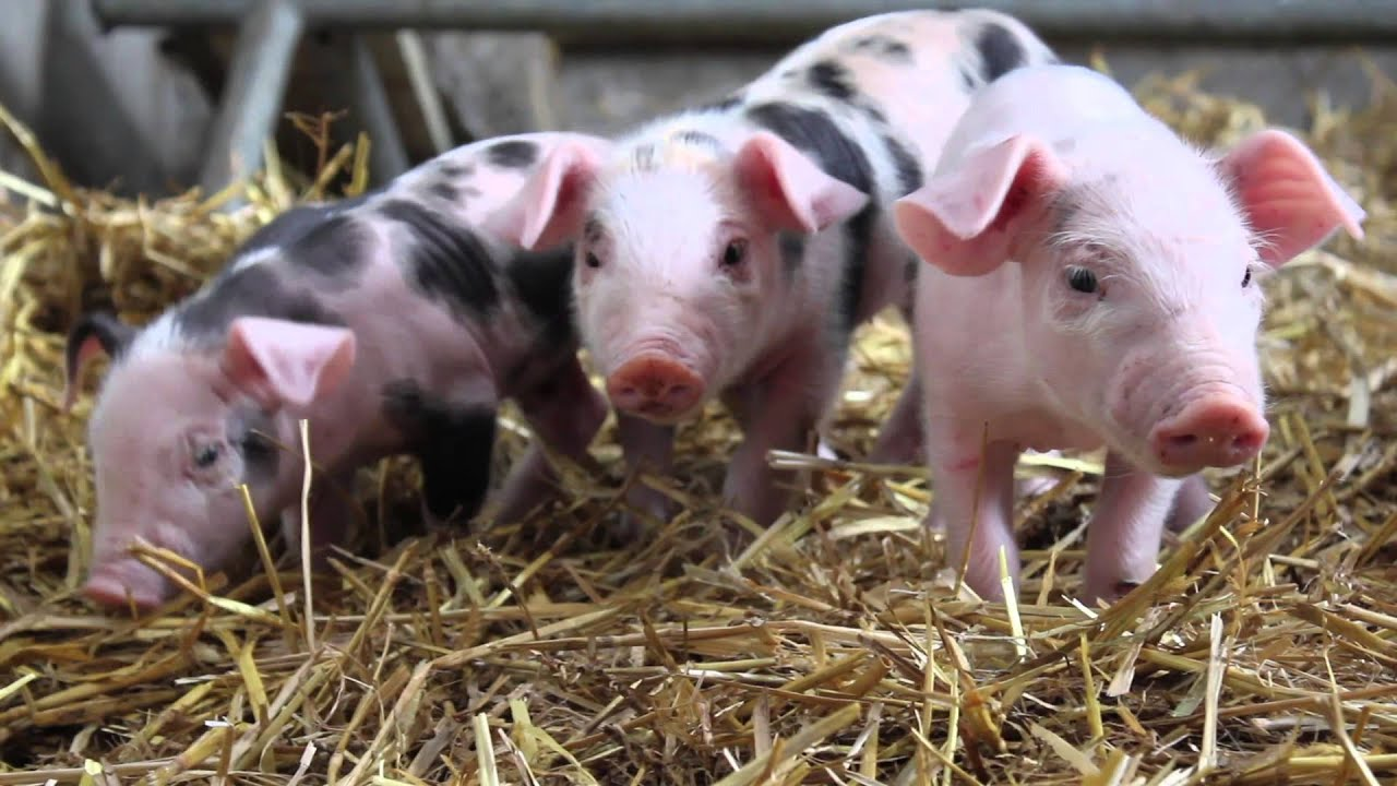 Cute Baby Pigs - YouTube