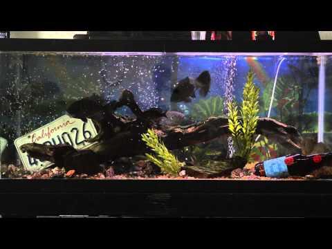 Channel Catfish, Bluegill And Green Sunfish Aquarium - Feeding Time!