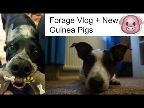 Forage Vlog + New Guinea Pigs | Crazy Animal Family
