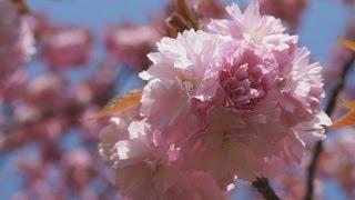 八重桜 羽根谷だんだん公園(camera α57)