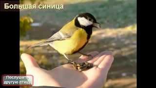 Большая синица слушать пение птиц