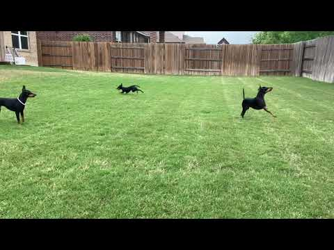 Toy Manchesters in Zoomie mode