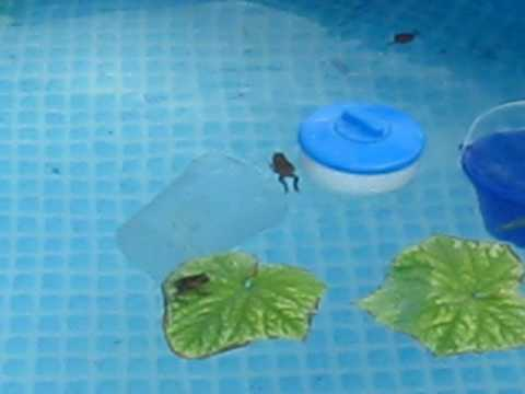 Frogs in the swimming pool - YouTube
