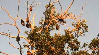 Bats In Trees Hanging