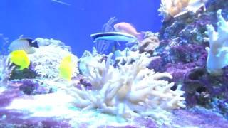 Немо. Дори. Аквариумные рыбки. Морские ежи. Кораллы. Риф.Aquarium fish. Nemo. Dori. Sea urchins.(Смотрим аквариумные рыбки, Немо и Дори, морские ежи и множество различных кораллов. Enjoying aquarium fish, Nemo and Dory,..., 2017-02-09T14:13:52.000Z)