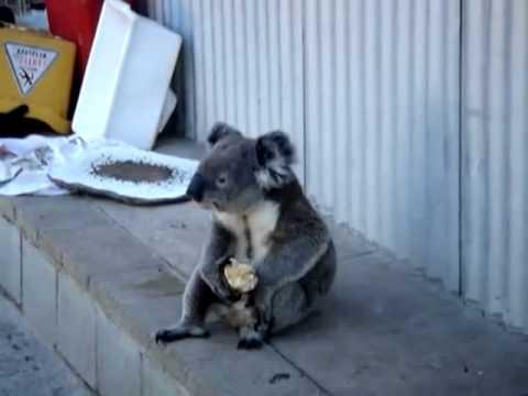 Печальная коала ест яблоко, смотрит назад в свою жизнь