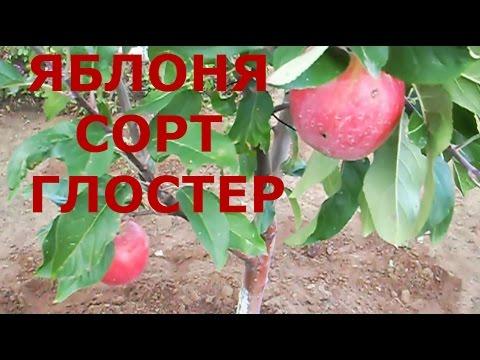 Яблоня Глостер / Яблоня Северный Синап /Яблони четырехлетки / ЯБЛОКИ Глостер.