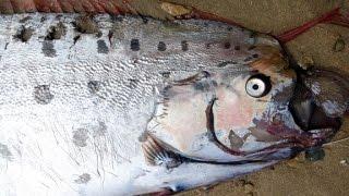 Rare oarfish washes ashore California beach