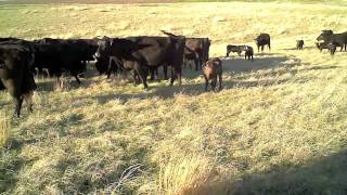 2012 Black Angus Cattle for Sale