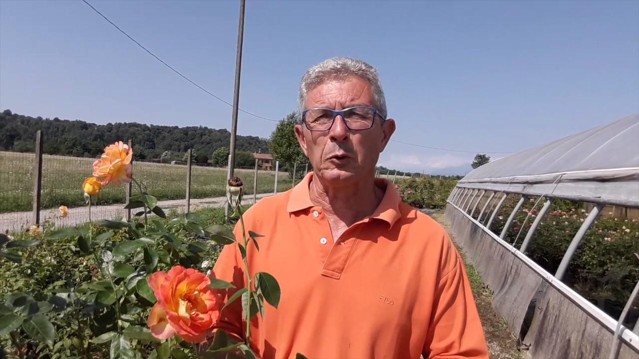 Combattere Afidi Delle Rose i consigli di un esperto su come combattere le malattie delle rose