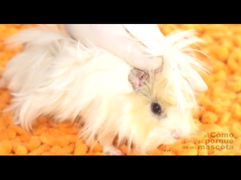 GUINEA PIGS - Nail cutting, hair brushing and ear cleaning.