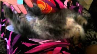 Метис абиссинской кошки