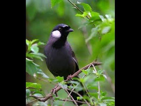 Khướu Mái Rò- Kích thích chim trống hót