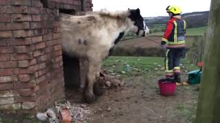 Horse with nose for trouble freed from WWII pillbox