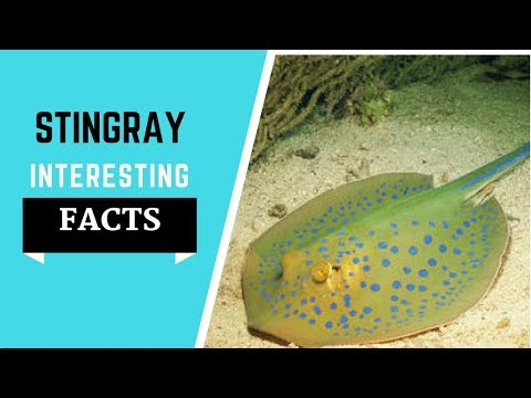 Stingray Facts For Kids - All The Information You Need To Know!