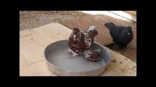 Pool, showers and washing pigeons ..Sterilization of all diseases