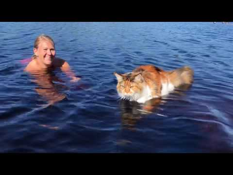 Maine Coon Cat: Trust And Love Between Cat And Owner.