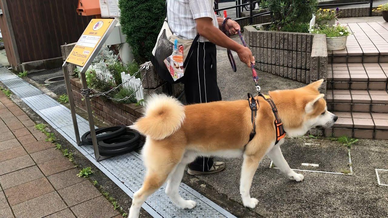 喜んで病院へ行く秋田犬【秋田犬ゆう太】Akita dog willing to go to the hospital