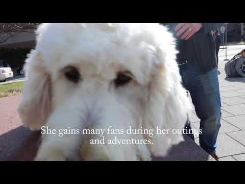 Fully Trained Labradoodles Available - Alaska